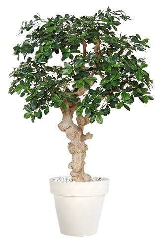 Buxifolia Crown 150 cm Green